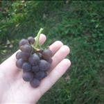 A bunch of grapes I ate :)