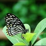 斑鳳蝶 (異常型) Chilasa clytia (Form dissimilis)