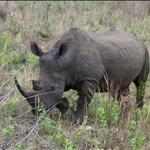 White Rhino / Rhino Blanc