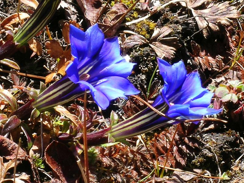 Gentiana veitchiorum藍玉簪龍膽