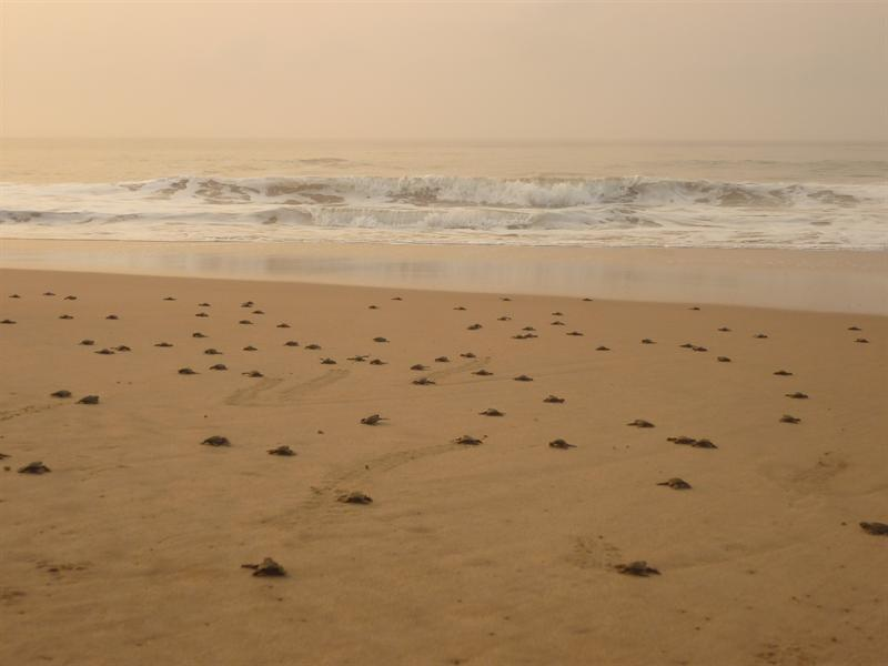 Butre - Schildkroeten auf ihrem Weg ins Wasser