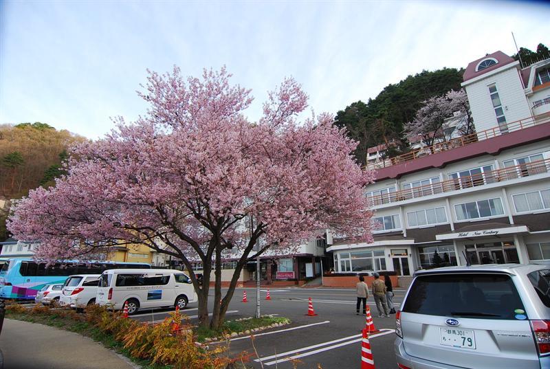 停車場這棵櫻花樹還特別被圍起來