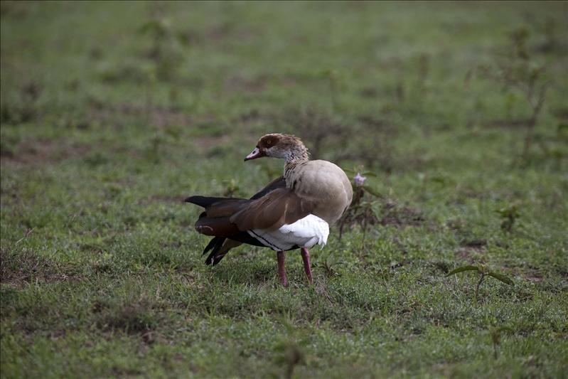 Egyptia Goose