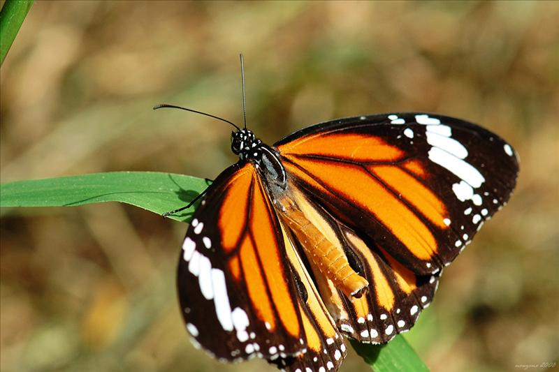 虎斑蝶Danaus genutia (Common Tiger)