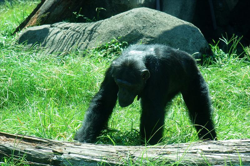 黑猩猩 Chimpanzee