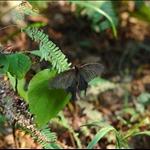 Papilio Bianor (Chinese Peacock 碧鳳蝶) (等待核對)