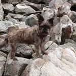 Half dog, half rock climbing goat