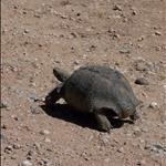 Leopard Turtoise / Tortue Léopard