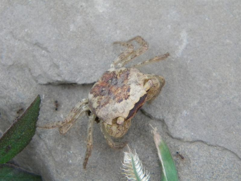 台東小野柳小蟹