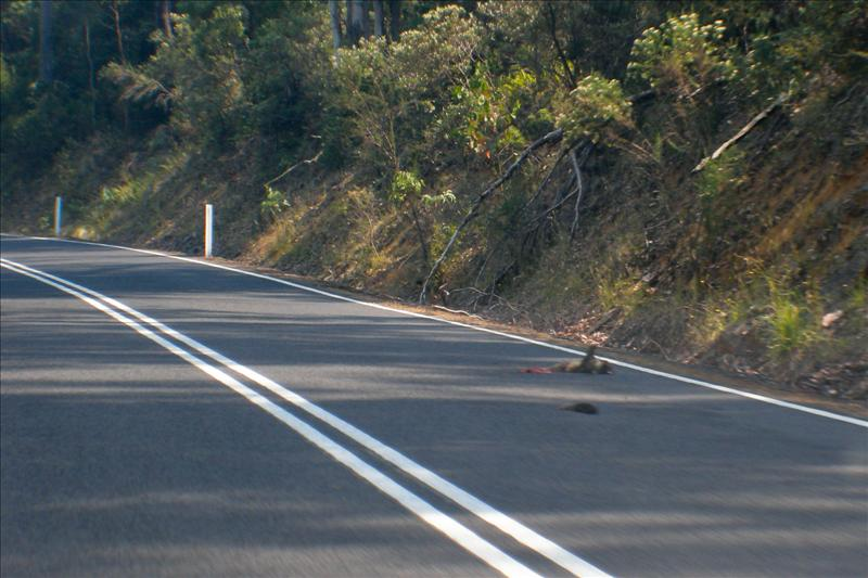 Road Kill... a lot in Tasmania...
