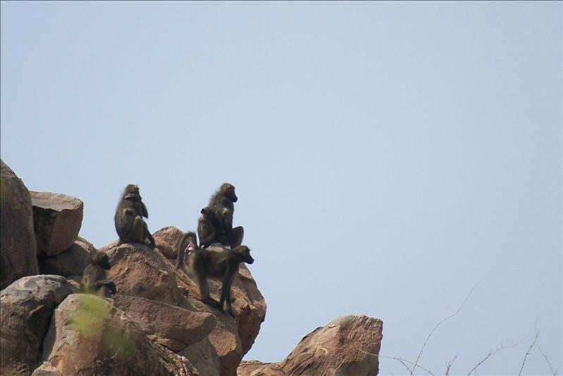 baboons on the rock / Babouin sur un rocher