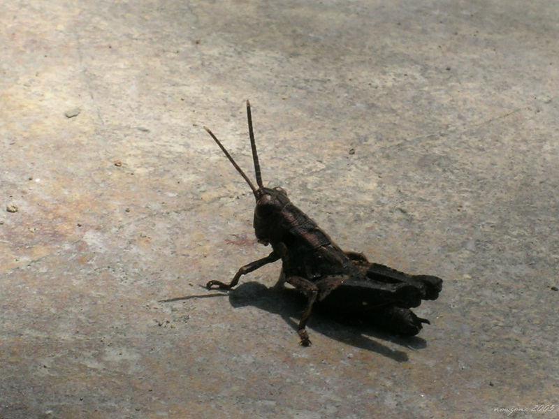 Grasshopper蚱蜢