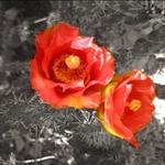 cactus_flower_bw.jpg