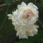2011士林官邸玫瑰花