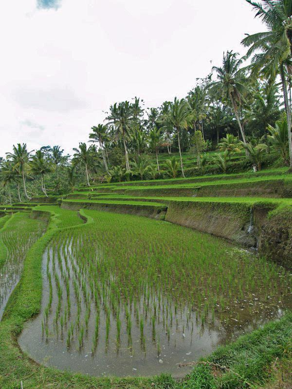 Rice Terrace at Gunung Kawi