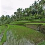 Rice Terrace at Gunung Kawi