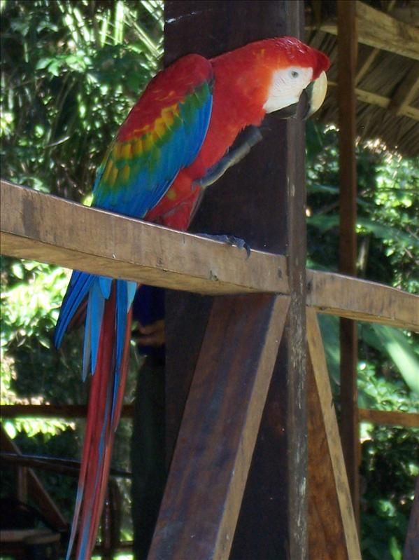 WOWIE THE PECKING PARROT, TAMBOPATA RESERVE, AMAZON