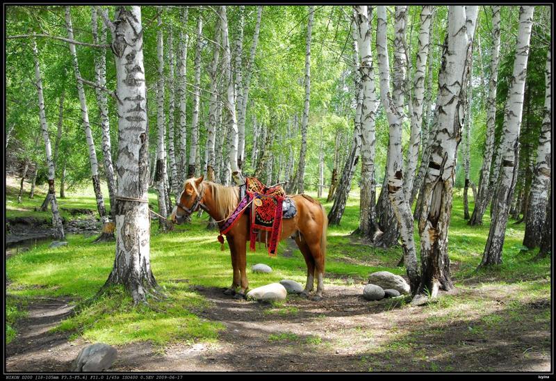 禾木,白桦林和马,这张光影很赞