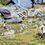 duck on rice field