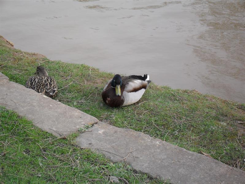 A nice duck