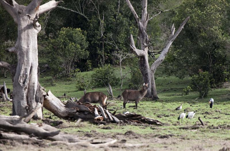Defassa's Waterbucks and Sacred Ibis