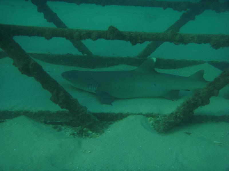 White Tip Shark, Navy Pier Ningaloo Reef