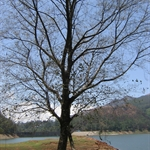 tree near mattupetty dam