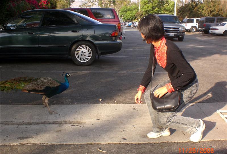 路边的孔雀