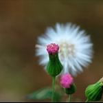 一點紅 (紫背草。雞腳草) Emilia sonchifolia