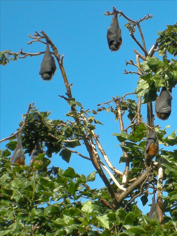 Flying-fox (bats) at the Botanical Garden