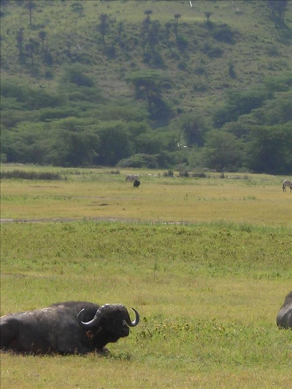 buffalo•Ngorongoro