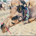 PUSHKAR CAMEL FAIR  nov99 N7