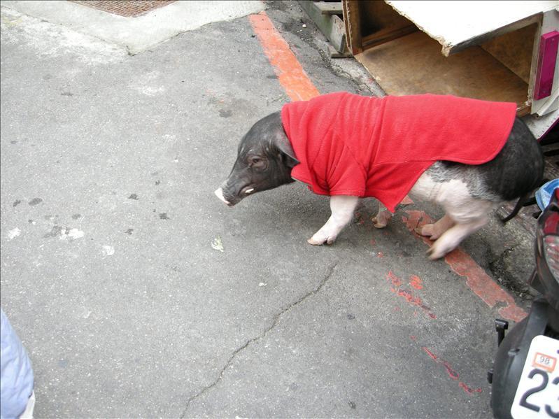 是黑豚來的喲!有點害羞哩