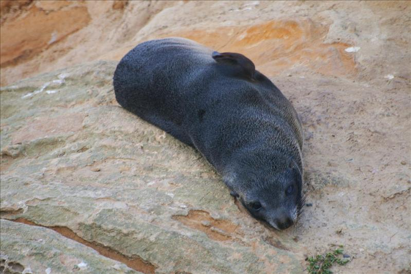 Seal at Kaikora