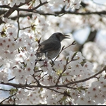 Birds in Sakura