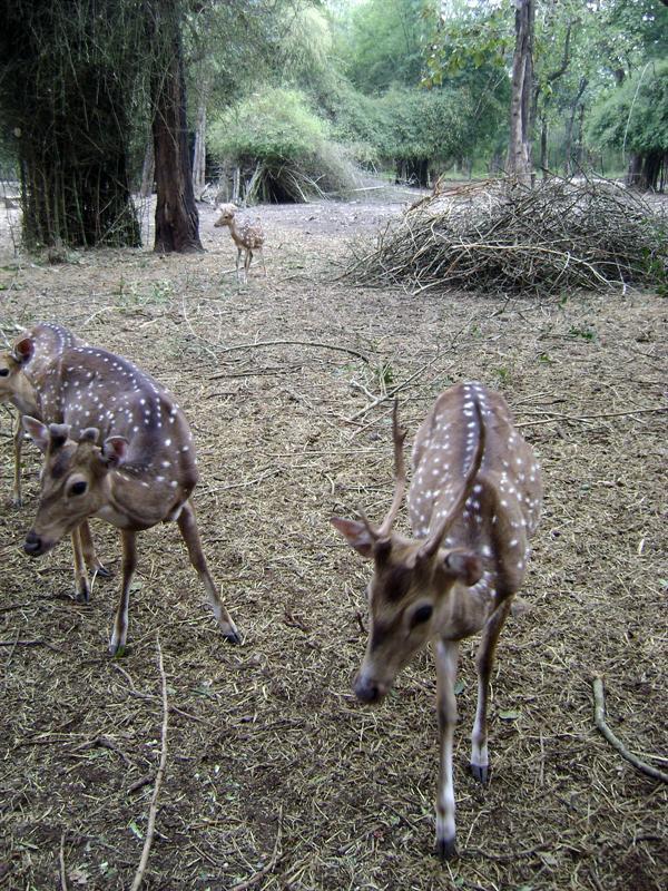Deer's @ Nisarga Dhama