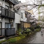 Hanami in rainy Kyoto