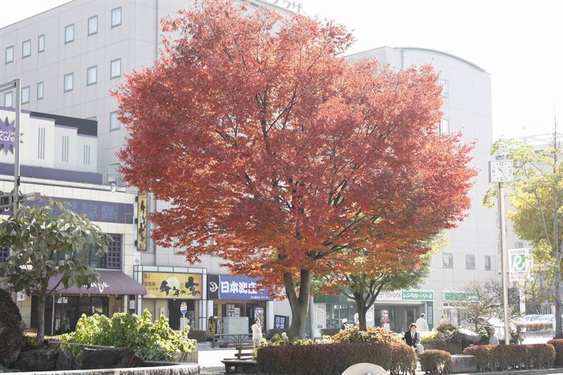 高山站廣場美麗的楓樹