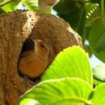 Vogel im Nesthöhle.JPG