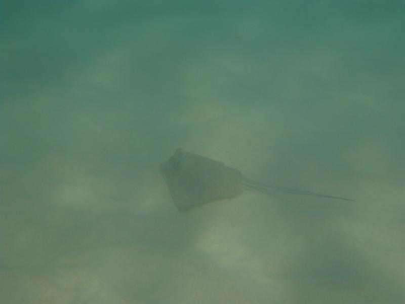 A Ray at Turquoise Bay