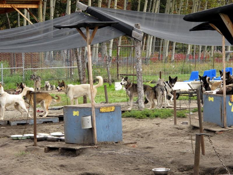 Rustic town of Caribou Crossing (Carcross) ---- Sled Dog compound