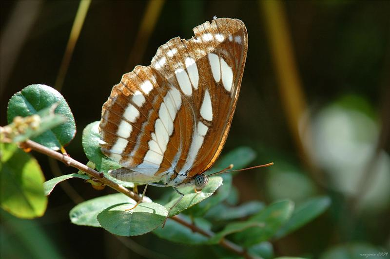 中環蛺蝶 Neptis hylas (Common Sailer)