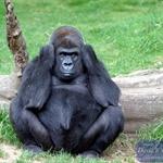 Gorilla at Bronx Zoo