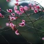 梅花Meihua (Mumeplant Japanese Apricot)