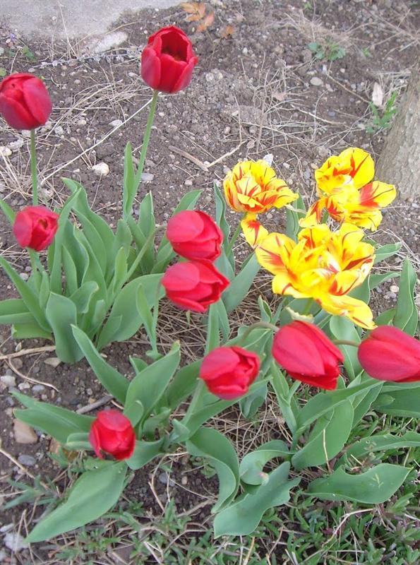 春天總是有很多鬱金香