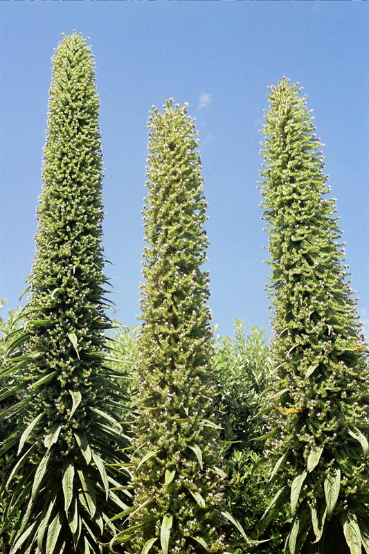 Three giant echiums