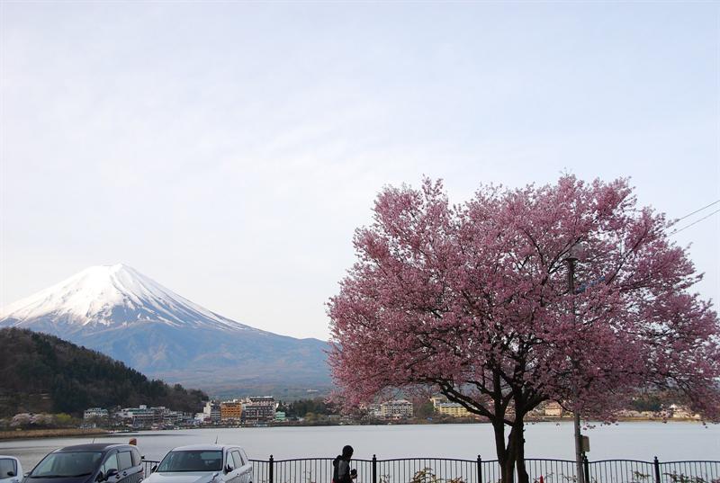 門口正有ㄧ棵盛開的櫻花樹