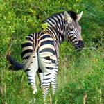 Zebra, Sabi Sands, Kruger Park, South Africa