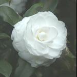 白色茶花 (2).JPG