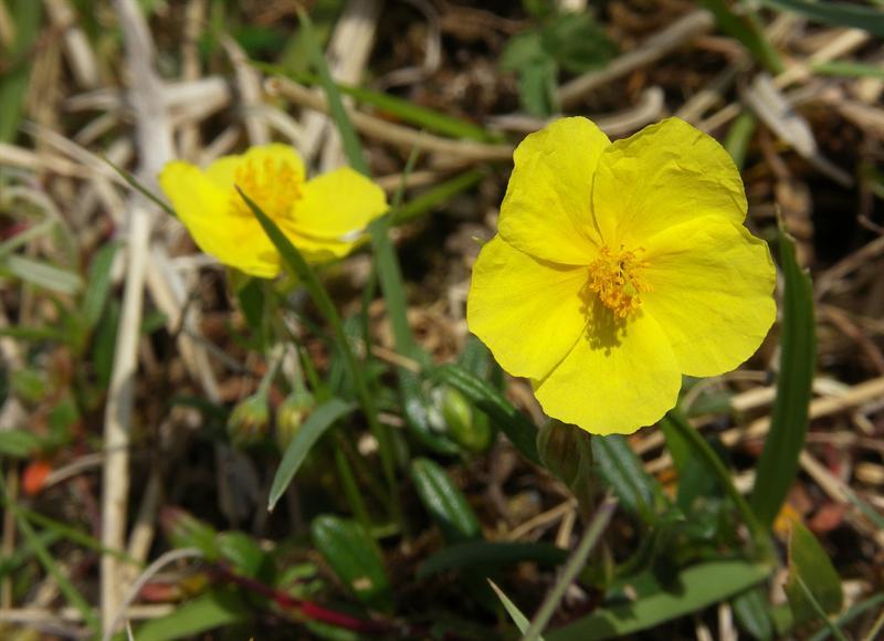 Common Rockrose